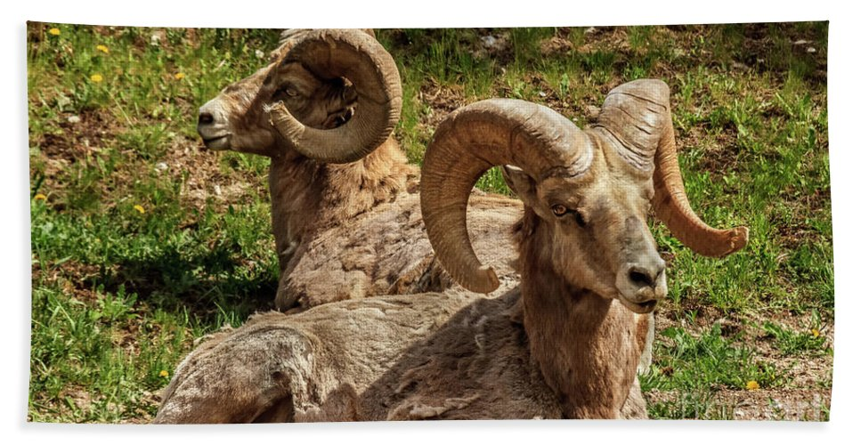 Wildlife Beach Towel featuring the photograph Two Resting Bighorn Sheep by Robert Bales