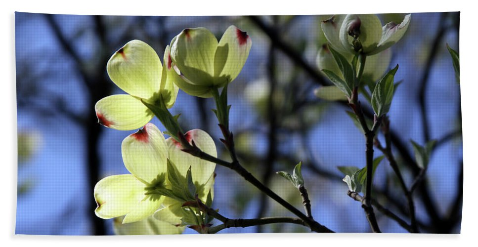 Dogwood Tree Beach Towel featuring the photograph Dogwood in Sunlight by John Lautermilch
