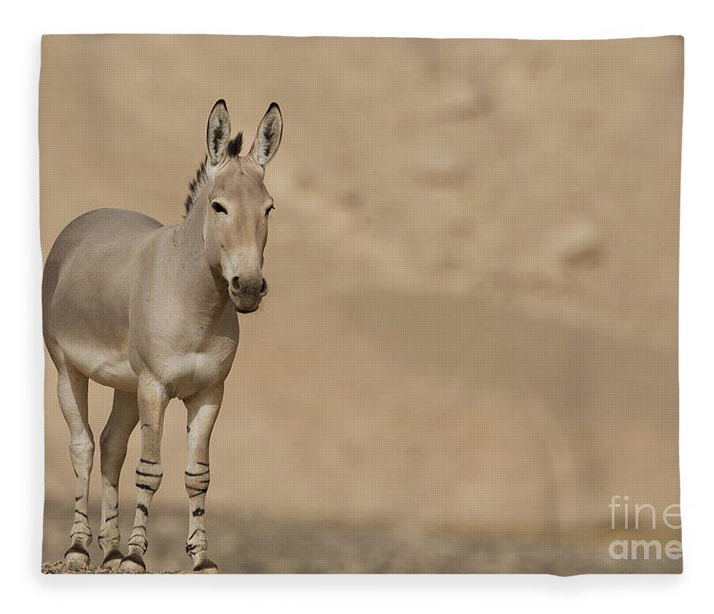 African Wild Ass Fleece Blanket featuring the photograph African Wild Ass Equus Africanus by Eyal Bartov