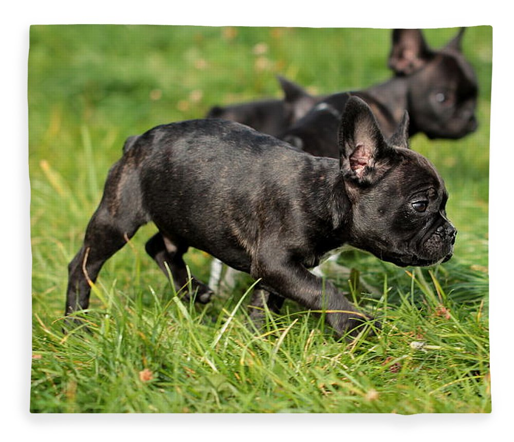 French Bulldogs Fleece Blanket featuring the photograph French Bulldoggs by Heike Hultsch