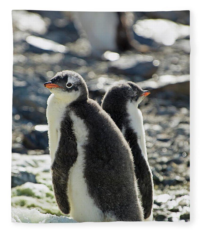 Alertness Fleece Blanket featuring the photograph Gentoo Penguins Pygoscelis Papua by Jim Julien / Design Pics