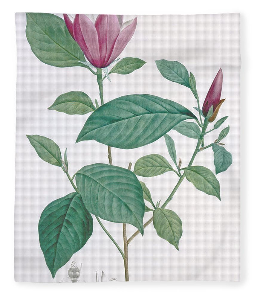 Redoute Fleece Blanket featuring the drawing Magnolia Discolor, Engraved By Legrand by Henri Joseph Redoute