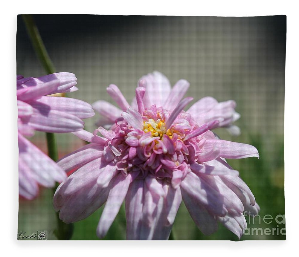 Mccombie Fleece Blanket featuring the photograph Marguerite Daisy Named Double Pink by J McCombie