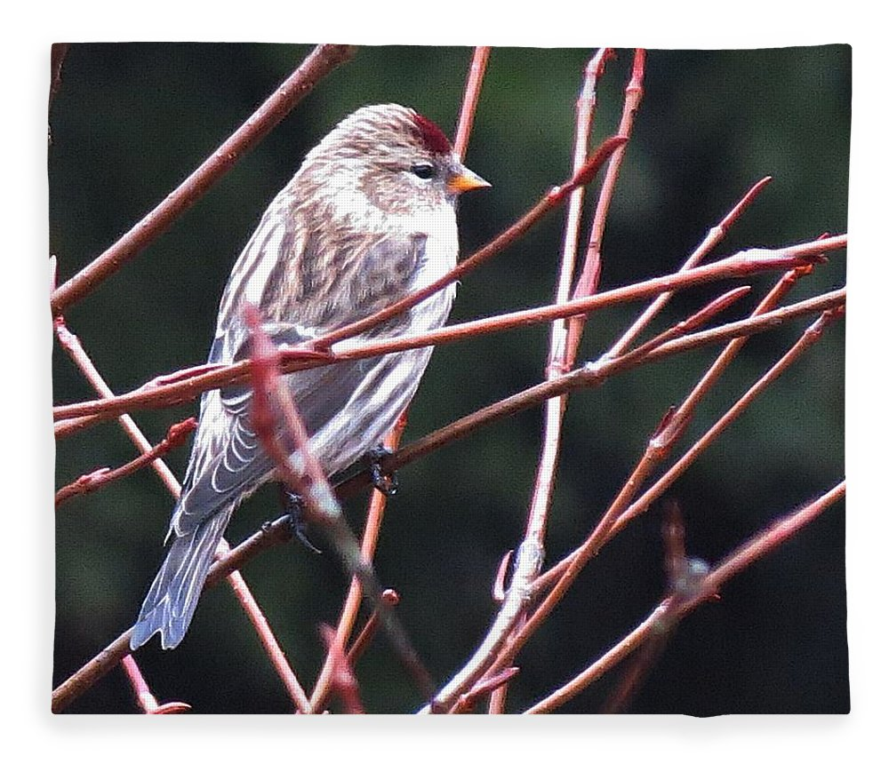 Redpoll Fleece Blanket featuring the photograph Redpoll by MTBobbins Photography