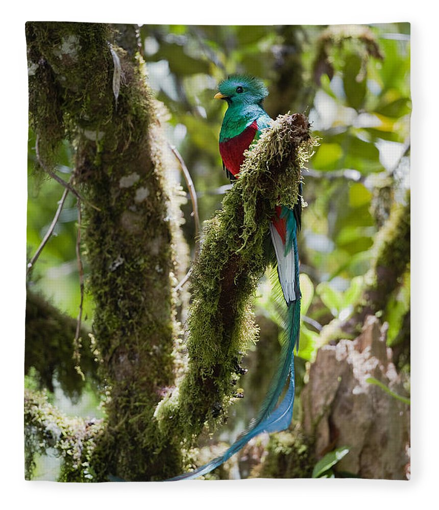 Feb0514 Fleece Blanket featuring the photograph Resplendent Quetzal Male Costa Rica by Konrad Wothe