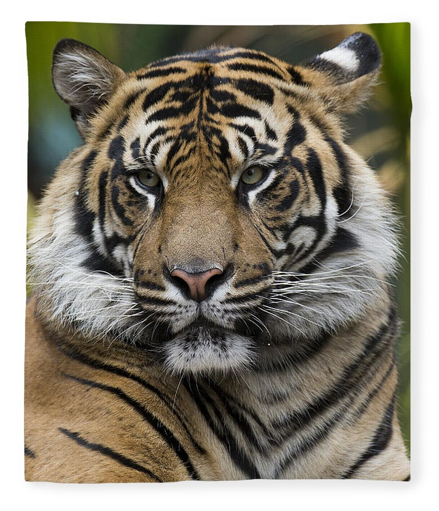 San Diego Zoo Fleece Blanket featuring the photograph Sumatran Tiger by San Diego Zoo