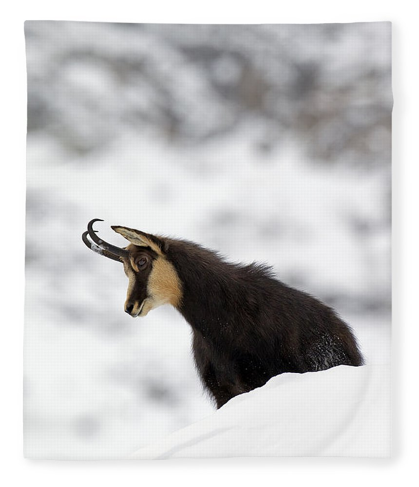 Chamois Fleece Blanket featuring the photograph 130201p229 by Arterra Picture Library