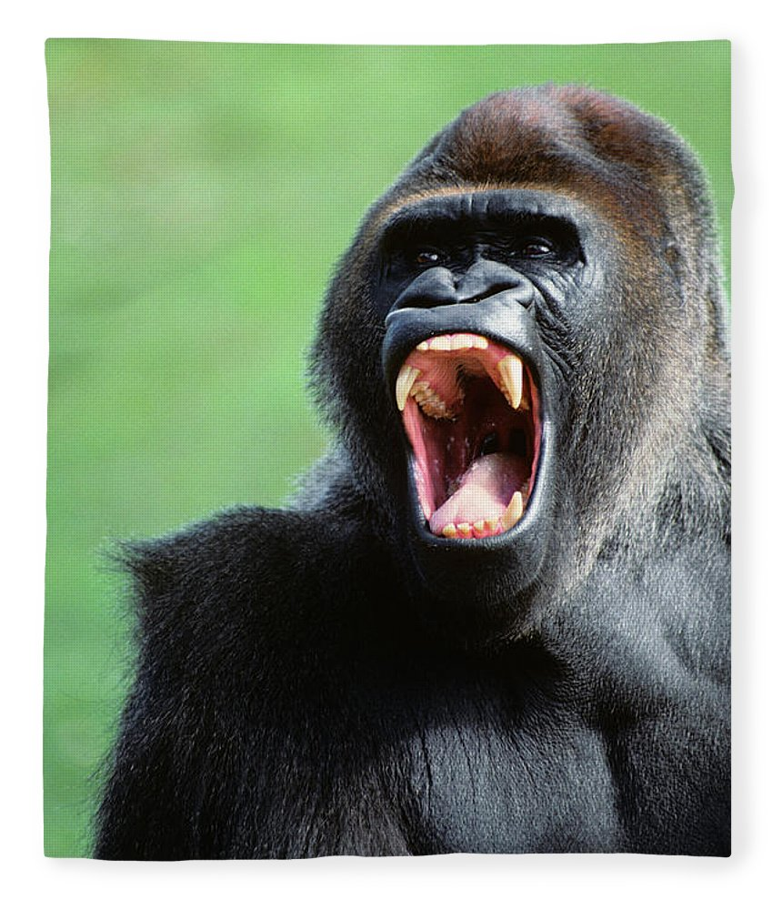 Photography Fleece Blanket featuring the photograph 1990s Gorilla Gorilla Gorilla Africa by Animal Images