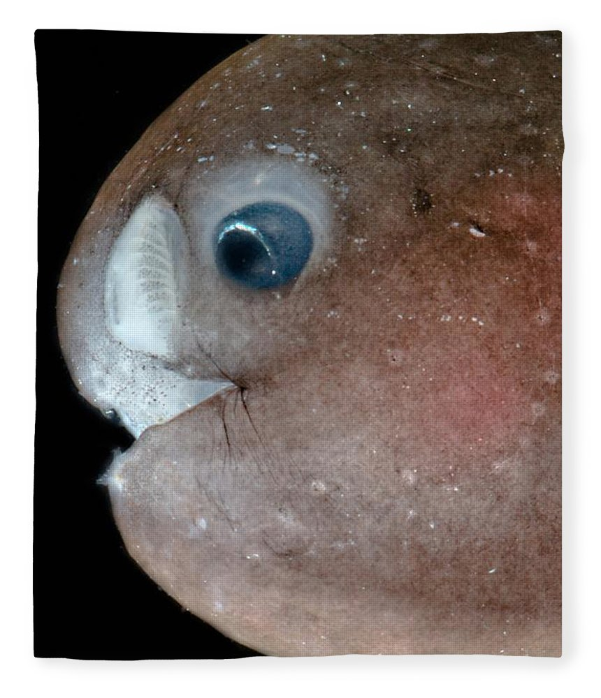 Anglerfish Fleece Blanket featuring the photograph Male Anglerfish, Linophrynidae by Dant� Fenolio