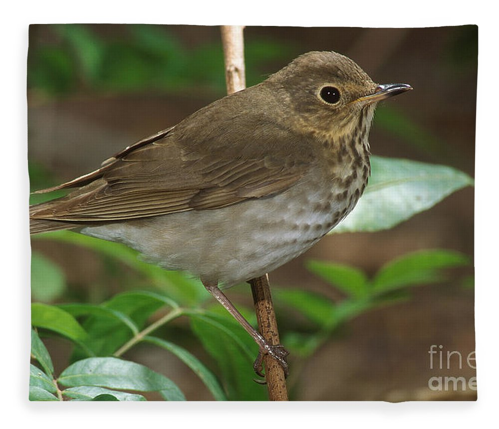 Animal Fleece Blanket featuring the photograph Swainsons Thrush by Anthony Mercieca