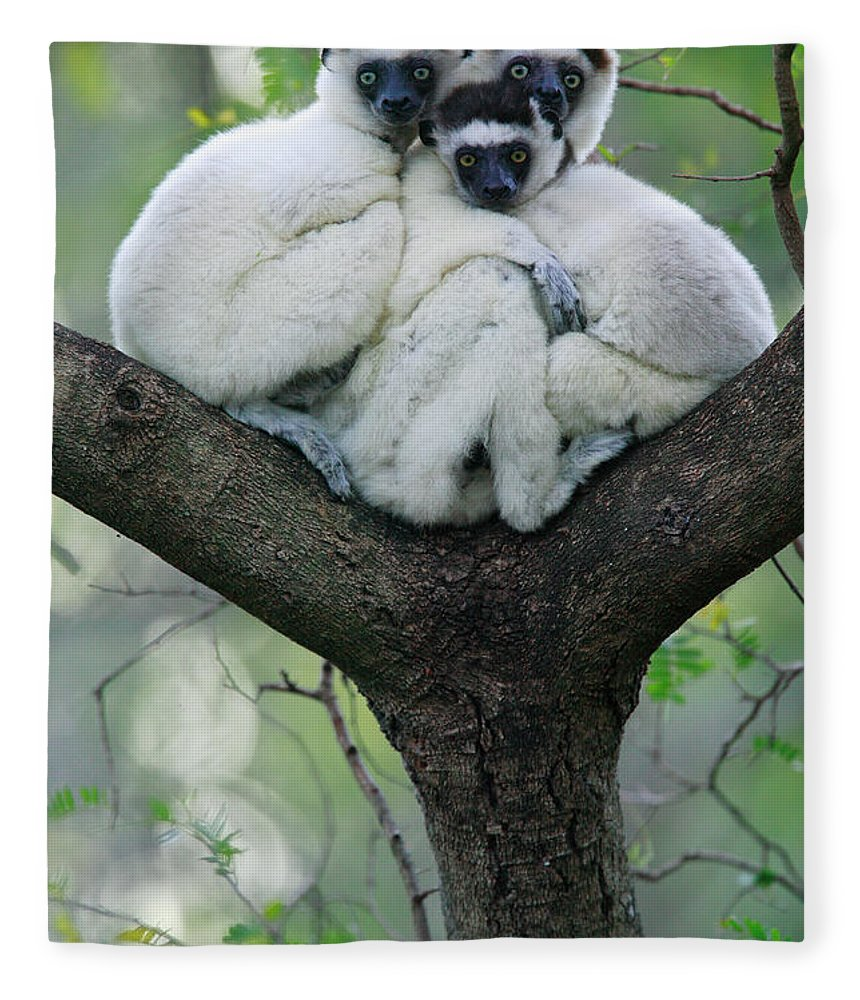 00621162 Fleece Blanket featuring the photograph Verreauxs Sifaka Propithecus Verreauxi by Cyril Ruoso