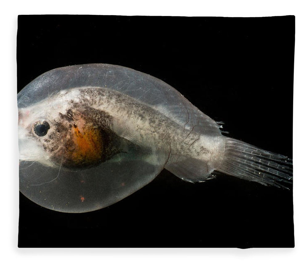 Oneirodidae Fleece Blanket featuring the photograph Larval Female Anglerfish, Oneirodidae by Dant� Fenolio