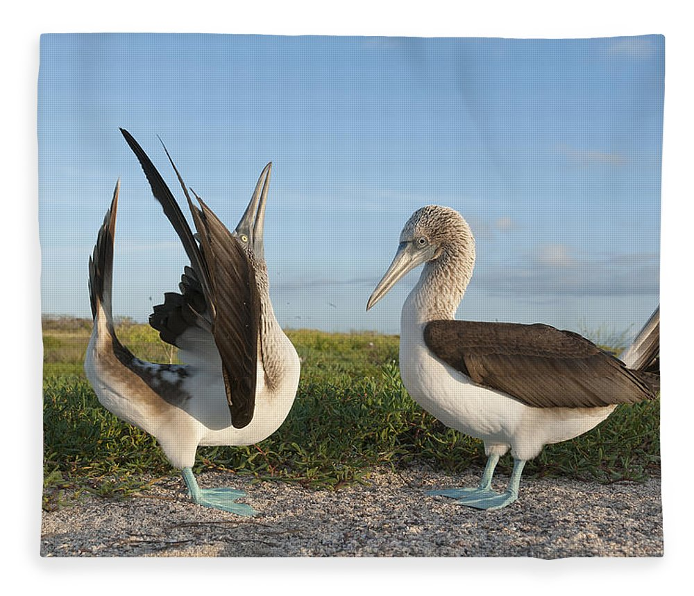 531712 Fleece Blanket featuring the photograph Blue-footed Booby Pair Courting by Tui De Roy
