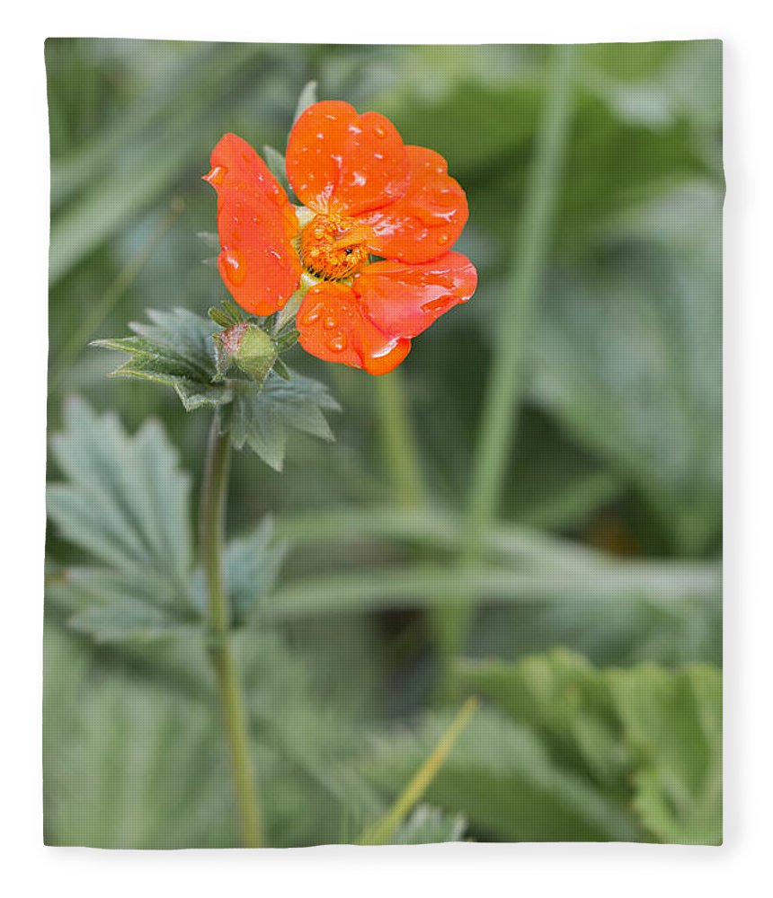 Bulgaria Fleece Blanket featuring the photograph Scarlet Avens Orange Wild Flower by Jivko Nakev
