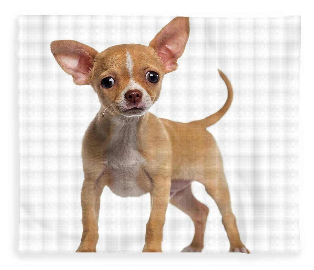 Pets Fleece Blanket featuring the photograph Alert Chihuahua Puppy 3 Months Old by Life On White