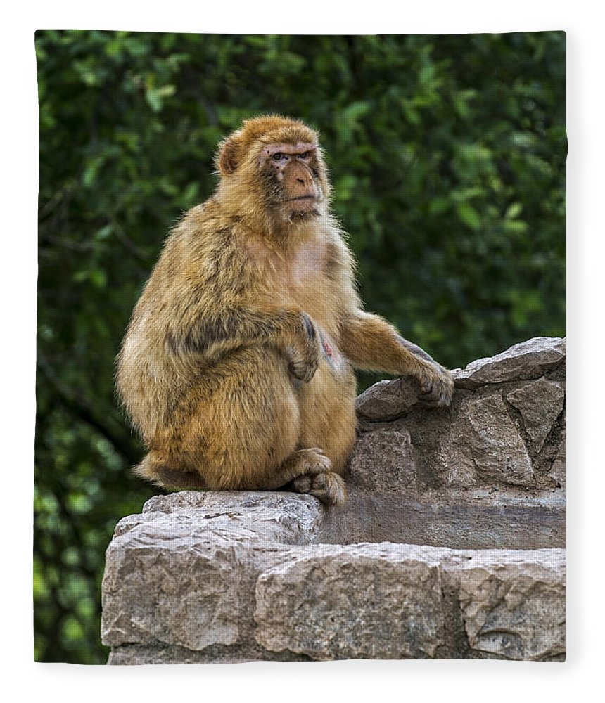 Barbary Macaque Fleece Blanket featuring the photograph Barbary Macaque by Arterra Picture Library