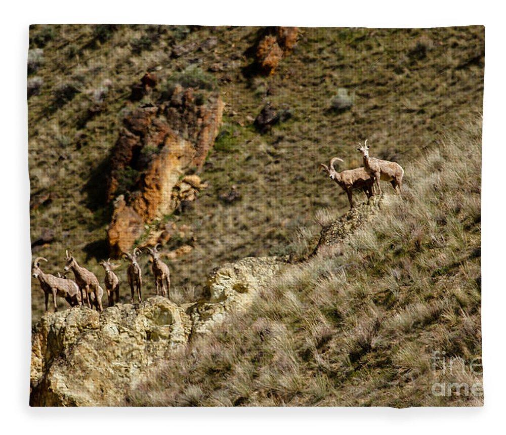 Sheep Fleece Blanket featuring the photograph Bighorn Sheep by Robert Bales