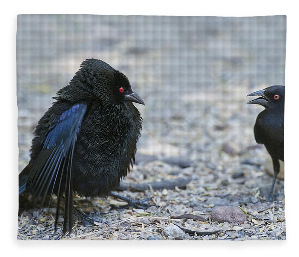 Bronzed Cowbird Fleece Blanket featuring the photograph Bronzed Cowbird Display by Anthony Mercieca