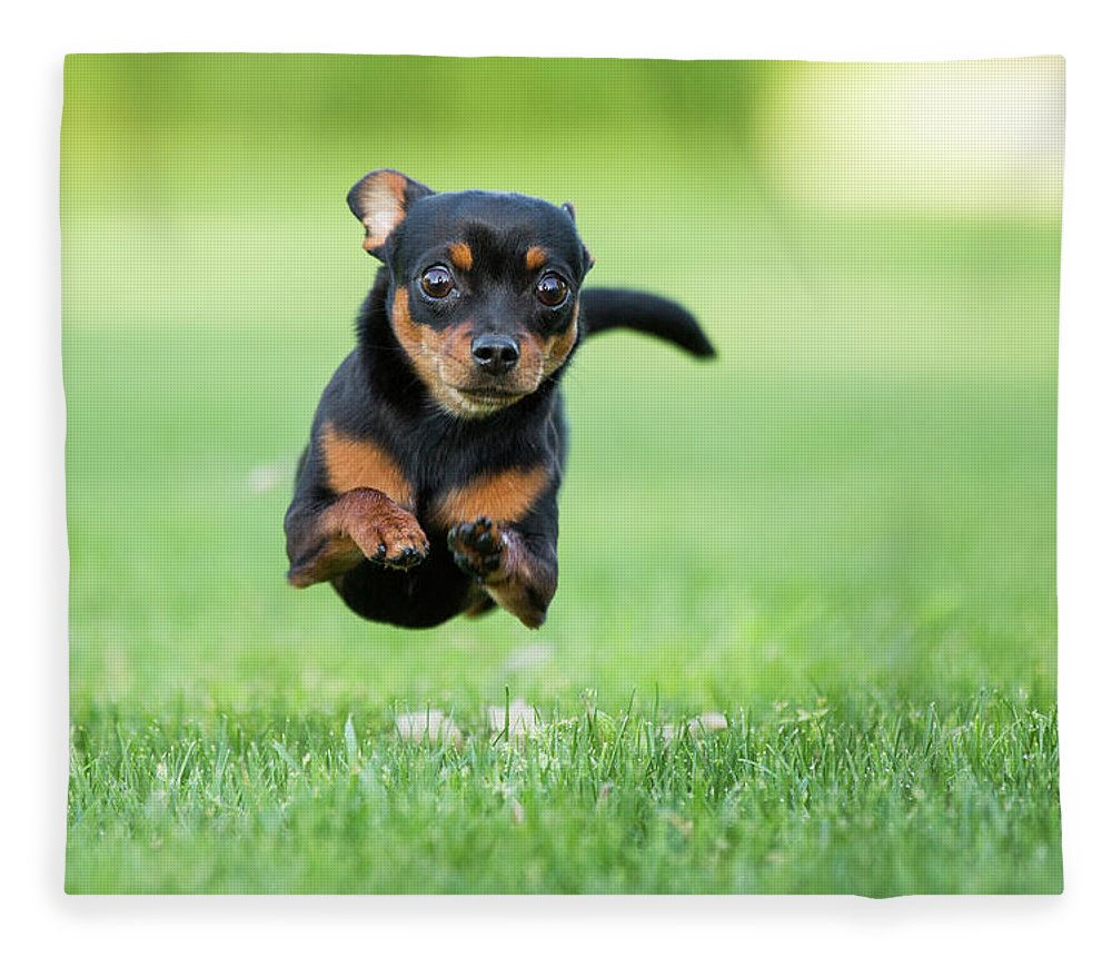 Pets Fleece Blanket featuring the photograph Chihuahua Dog Running by Purple Collar Pet Photography