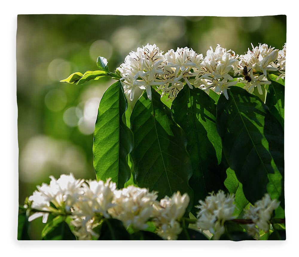 Hanging Fleece Blanket featuring the photograph Coffee Coffea Arabia Blossoms, Kona by Alvis Upitis