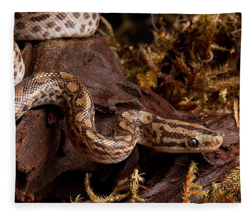 Animal Fleece Blanket featuring the photograph Colombian Rainbow Boa Epicrates Maurus by David Kenny