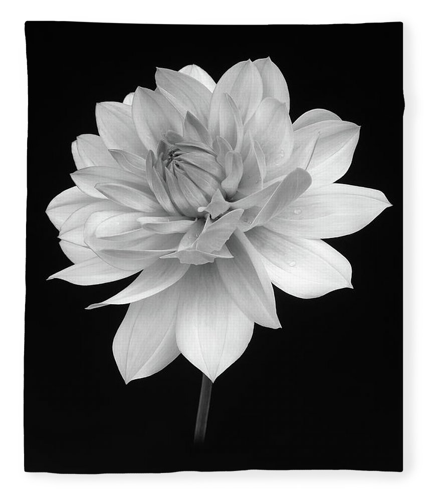 Haslemere Fleece Blanket featuring the photograph Dahlia In Gentle Shades Of Grey by Rosemary Calvert