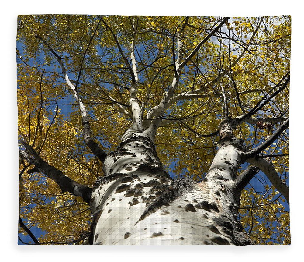 Gold Fleece Blanket featuring the photograph Fall Aspen by Frank Madia