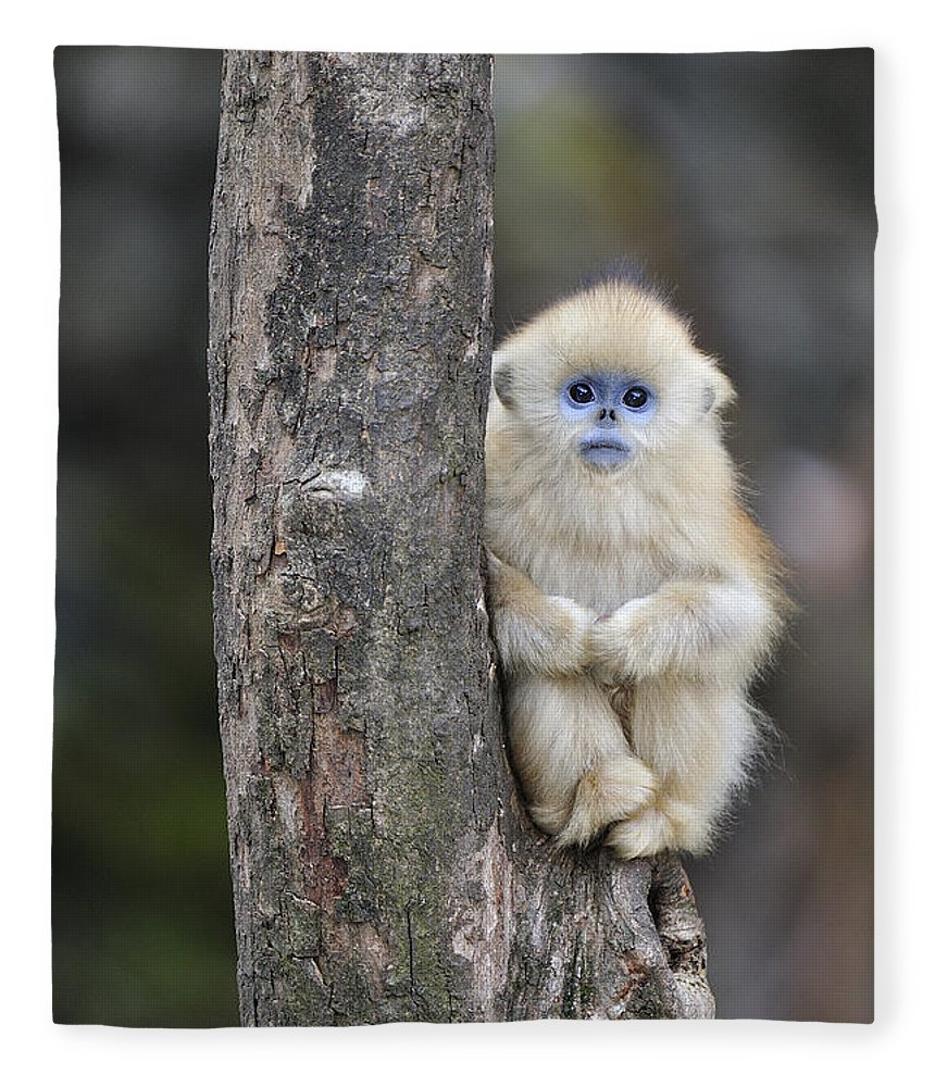Feb0514 Fleece Blanket featuring the photograph Golden Snub-nosed Monkey Young China by Thomas Marent