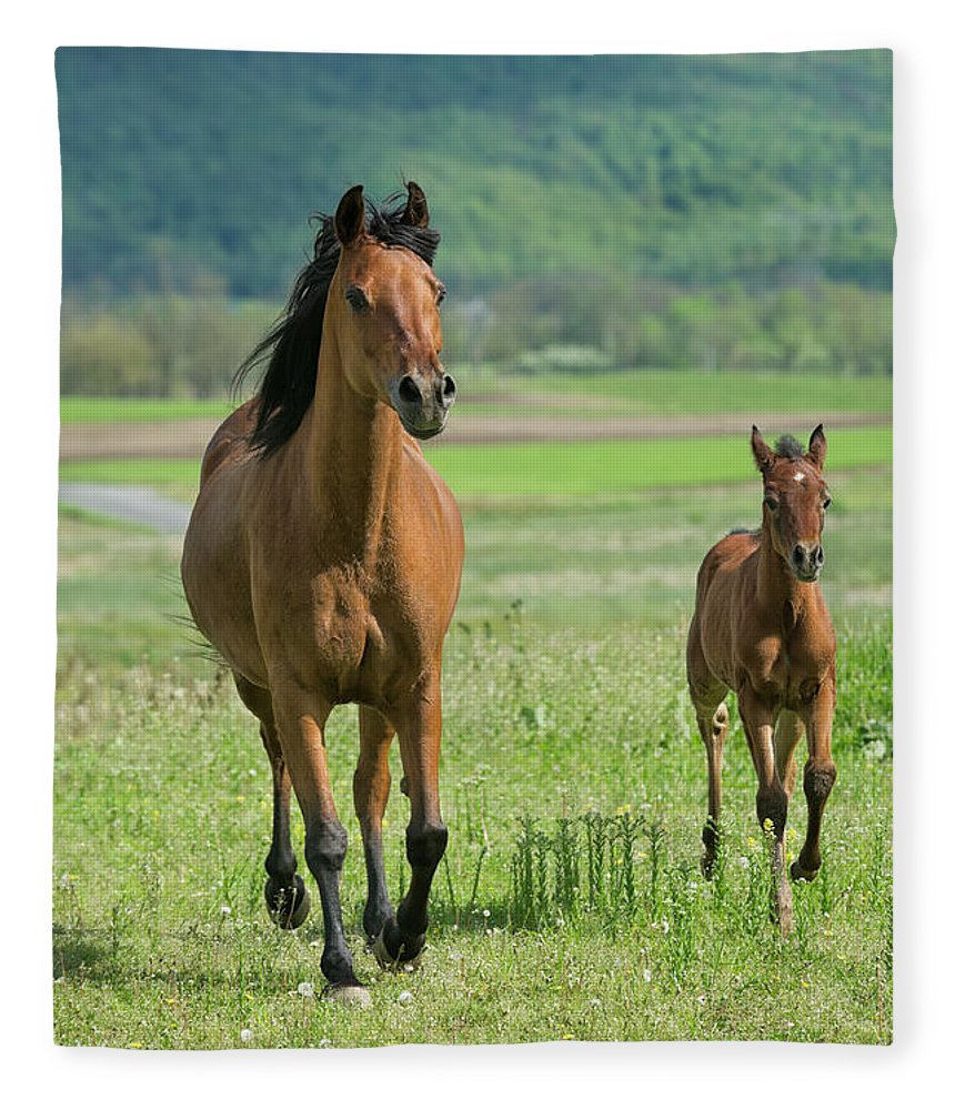 Horse Fleece Blanket featuring the photograph Horses Running In Summer Pasture, Mare by Catnap72
