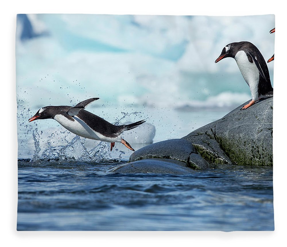 Water's Edge Fleece Blanket featuring the photograph Leaping Gentoo Penguins, Antarctica by Paul Souders