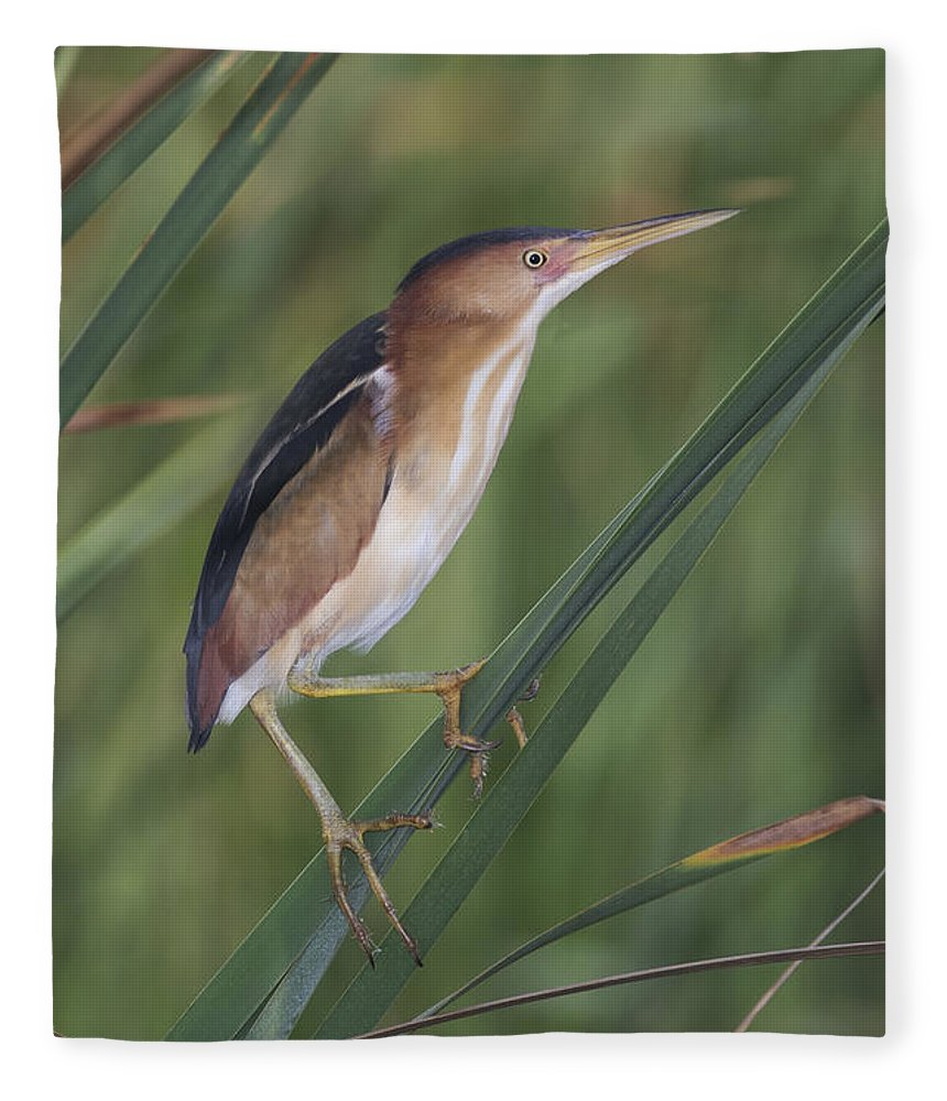 Least Bittern Fleece Blanket featuring the photograph Least Bittern by Anthony Mercieca