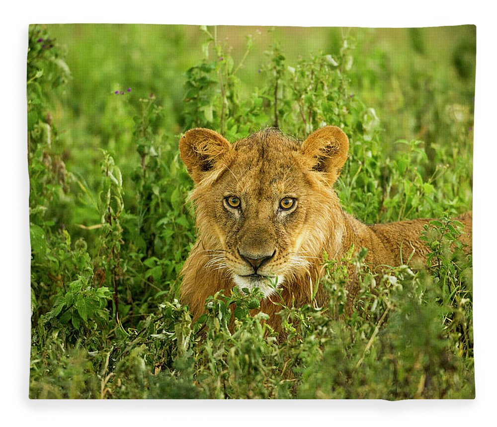 Grass Fleece Blanket featuring the photograph Lion, Ngorongoro Conservation Area by Paul Souders