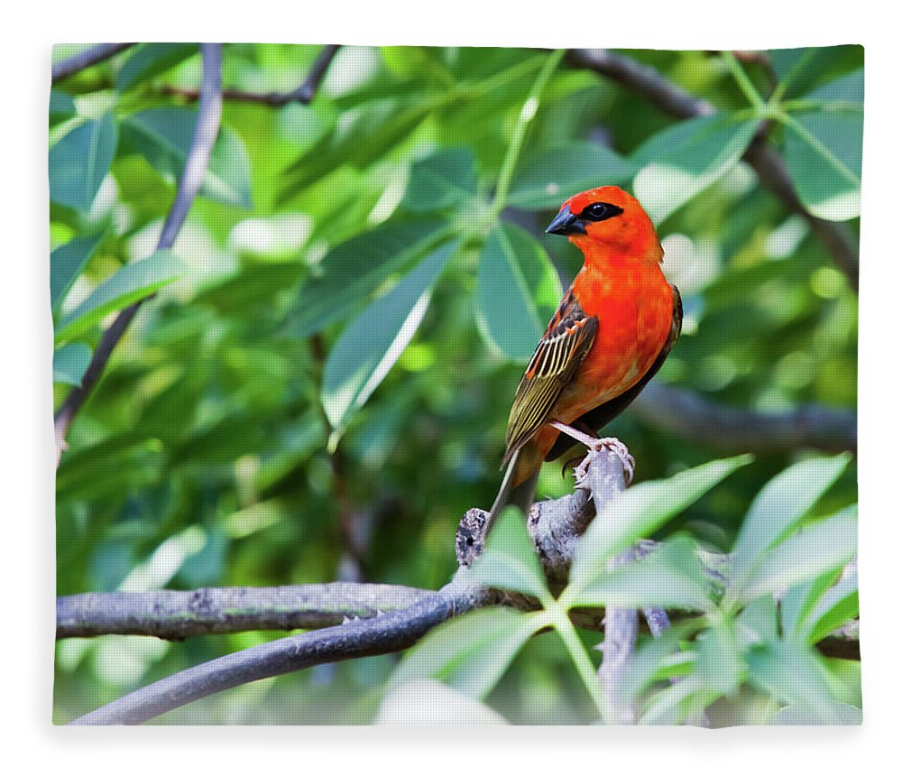 Tropical Tree Fleece Blanket featuring the photograph Male Red Fody Bird On The Tree Branch by Stocknshares