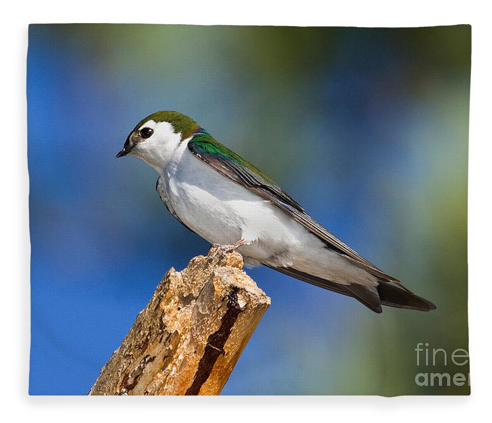 Animal Fleece Blanket featuring the photograph Male Violet-green Swallow by Anthony Mercieca