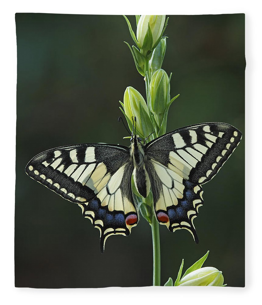 Silvia Reiche Fleece Blanket featuring the photograph Oldworld Swallowtail Butterfly by Silvia Reiche