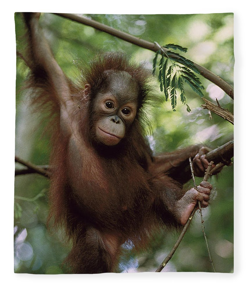 Feb0514 Fleece Blanket featuring the photograph Orangutan Infant Hanging Borneo by Konrad Wothe