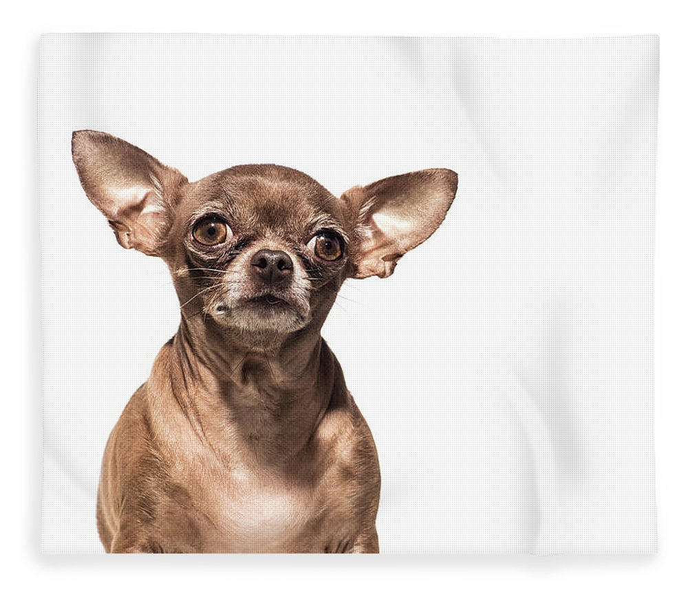 Pets Fleece Blanket featuring the photograph Portrait Of A Chocolate Chihuahua - The by Amandafoundation.org