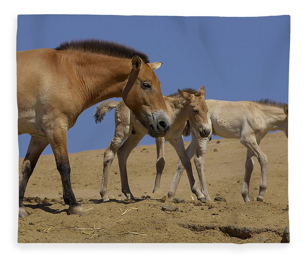 Feb0514 Fleece Blanket featuring the photograph Przewalskis Horse With Two Foals by San Diego Zoo