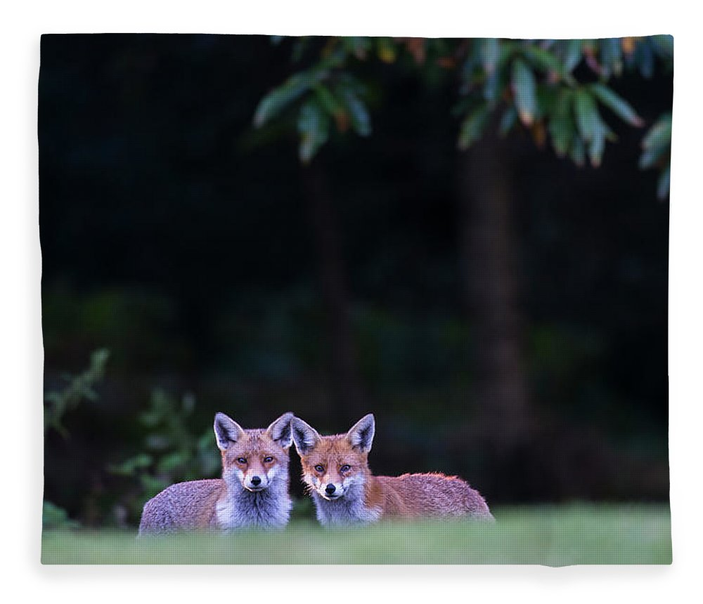 England Fleece Blanket featuring the photograph Red Foxes At Edge Of Forest At Twilight by James Warwick