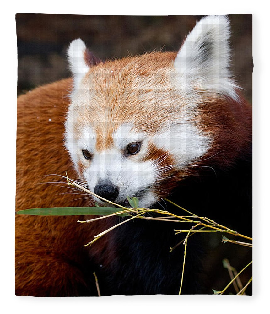 Animal Fleece Blanket featuring the photograph Red Panda Ailurus Fulgens In Captivity by David Kenny