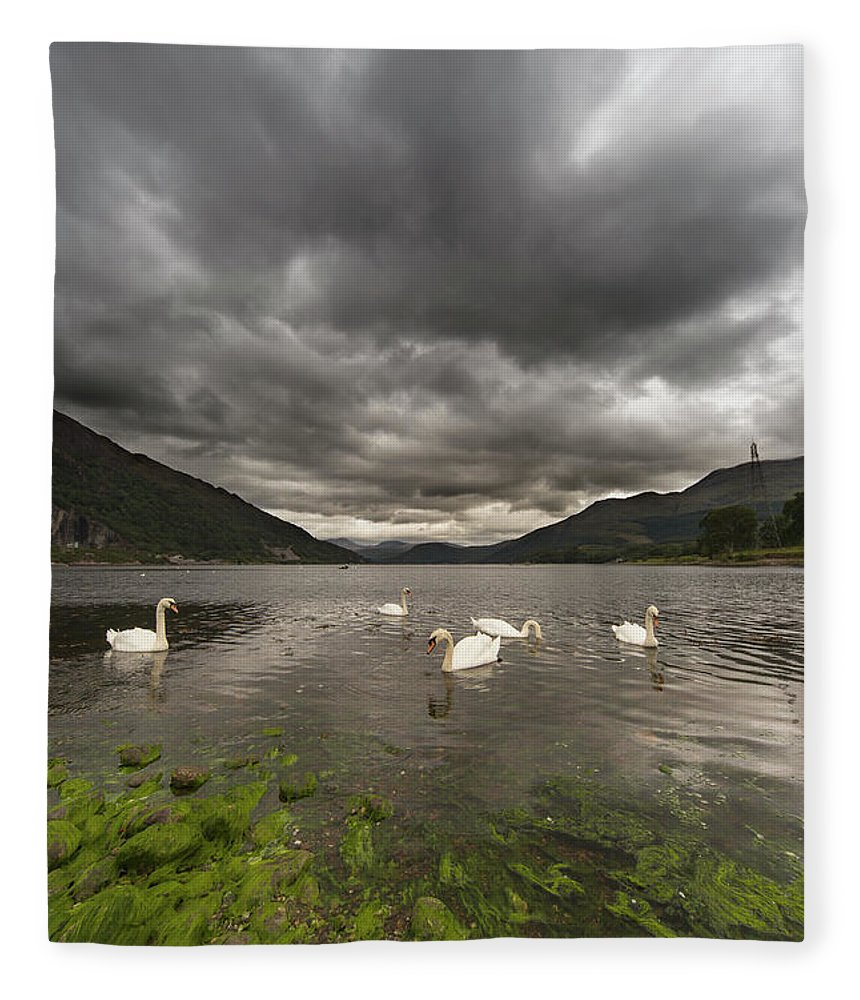 Seaweed Fleece Blanket featuring the photograph Swans Swimming In The Water Of Loch by John Short / Design Pics