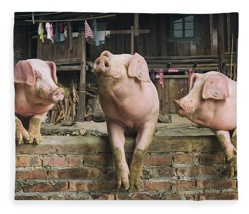 Pig Fleece Blanket featuring the photograph Three Pigs Having A Chat In A Remote by Mediaproduction