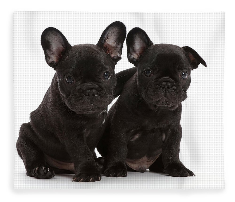 Animals Fleece Blanket featuring the photograph Two French Bulldog Puppies, 6 Weeks by Mark Taylor