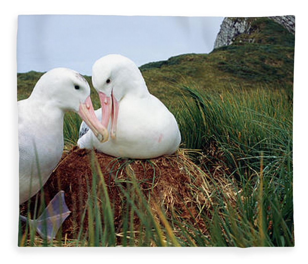 Photography Fleece Blanket featuring the photograph Wandering Albatross Diomedea Exulans by Animal Images