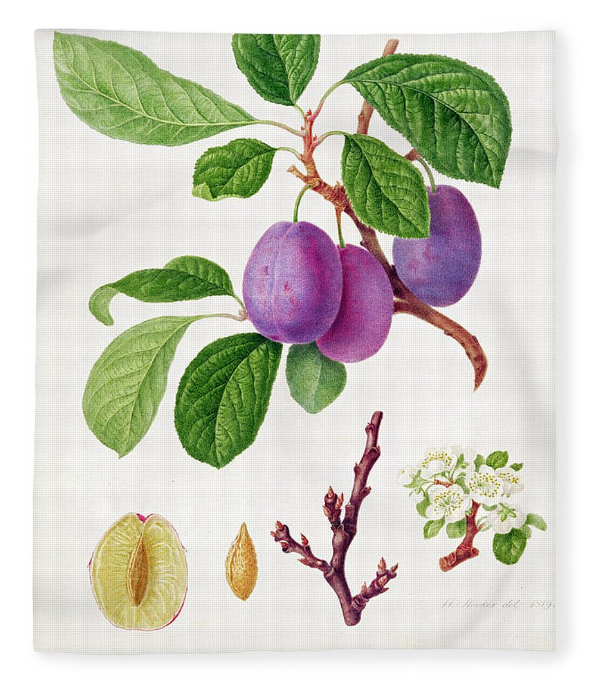 Plums; Plum Blossom; Fruit; Branch; Cross-section; Leaves; Botanical Illustration Fleece Blanket featuring the painting Wilmot's Early Violet Plum by William Hooker