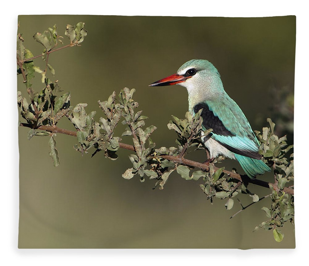 Nis Fleece Blanket featuring the photograph Woodland Kingfisher Kruger Np South by Alexander Koenders