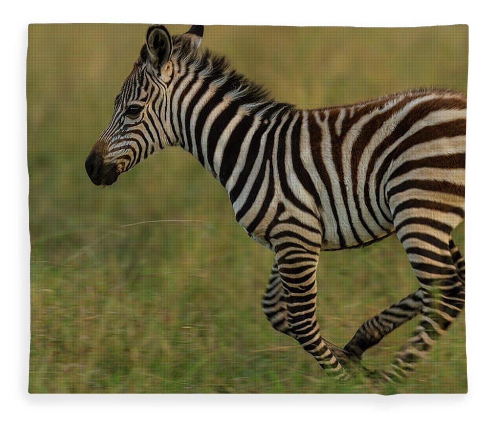 Plains Zebra Fleece Blanket featuring the photograph Zebra Foal Running For Joy by Manoj Shah