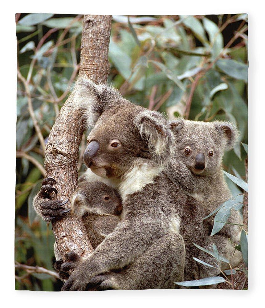Mp Fleece Blanket featuring the photograph Koala Phascolarctos Cinereus Mother by Gerry Ellis