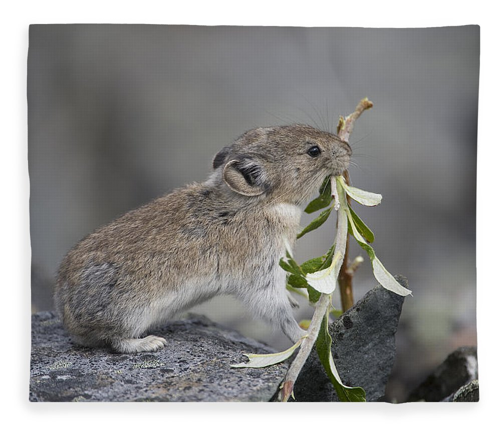 Mp Fleece Blanket featuring the photograph American Pika by Michael Quinton