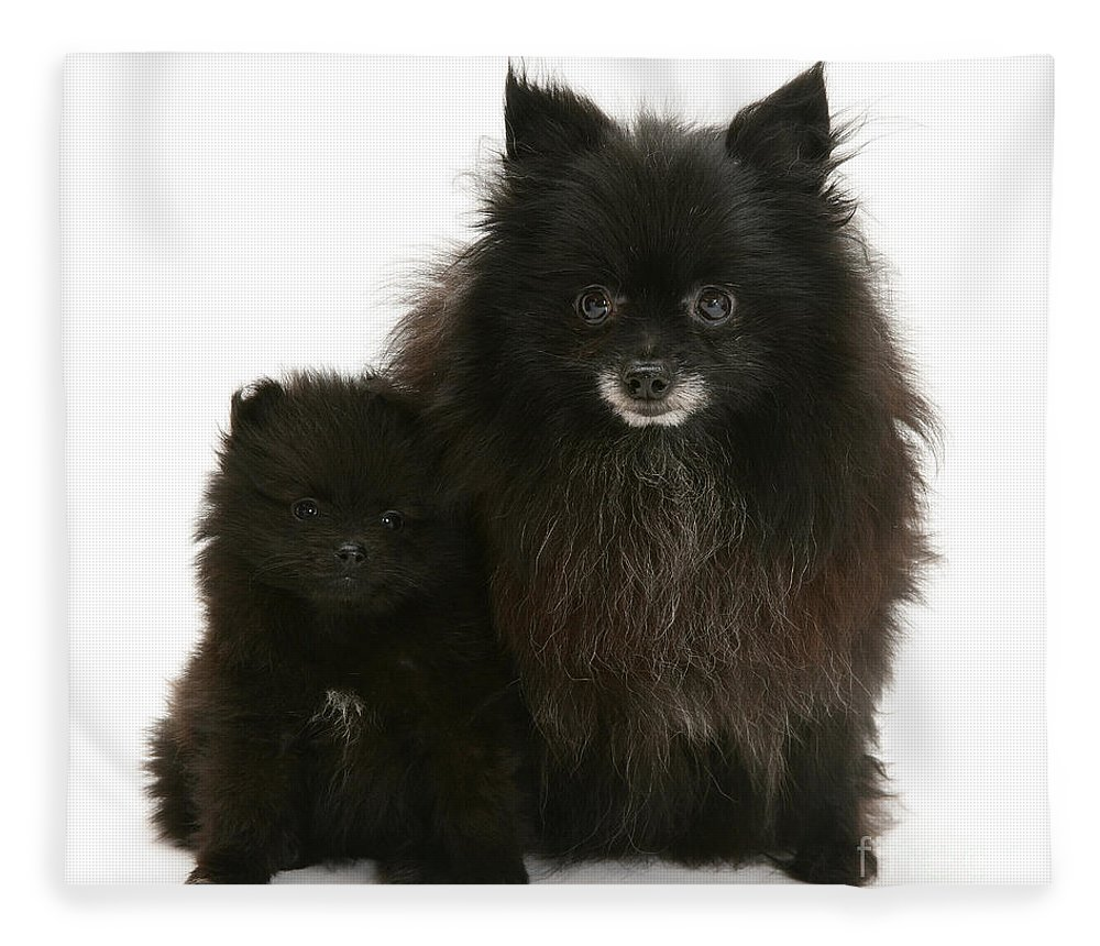 Animals Fleece Blanket featuring the photograph Black Pomeranian And Puppy by Jane Burton